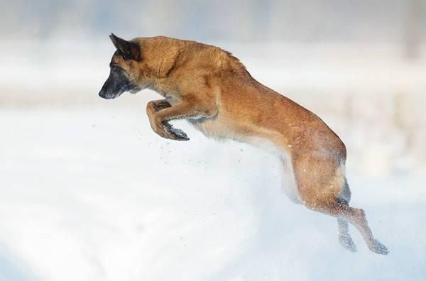Бельгийская овчарка малинуа прыгает