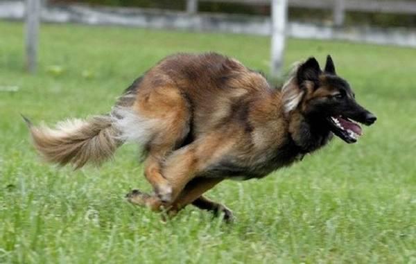Бельгийская овчарка тервюрен бежит