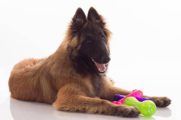 Бельгийская овчарка тервюрен с игрушками