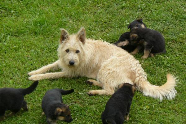 Бельгийская овчарка Лакенуа лежит
