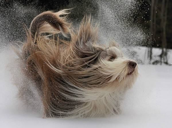 Бородатый колли в снегу