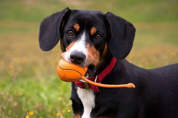 Энтлебухер зенненхунд с мячом