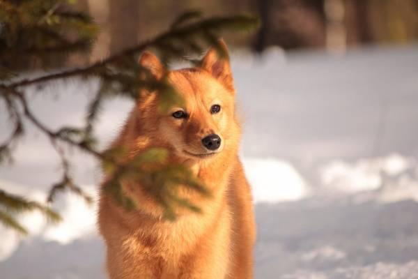 Карело-финская лайка смотрит