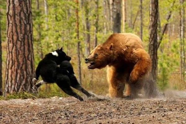 Карельская медвежья собака читайте статью
