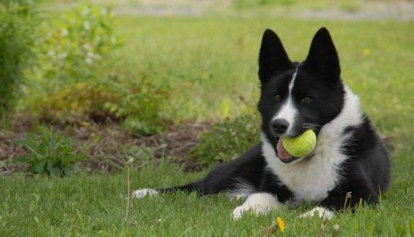 Карельская медвежья собака с мячом
