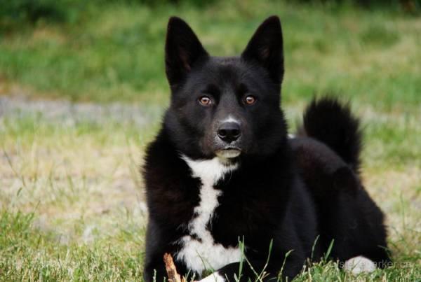 Карельская медвежья собака смотрит
