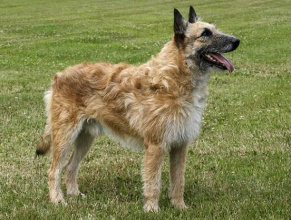 Красивая бельгийская овчарка Лакенуа
