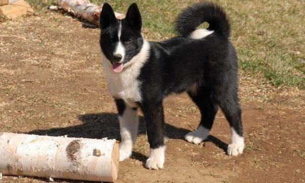 Медвежья карельская собака