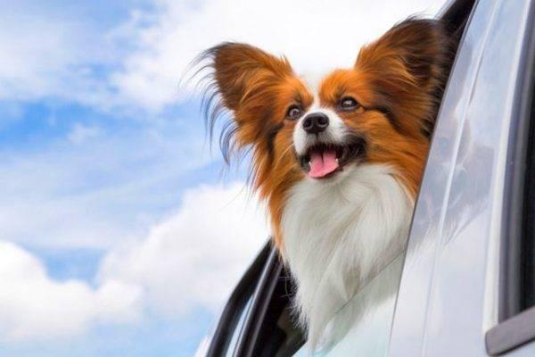 Папильон в машине