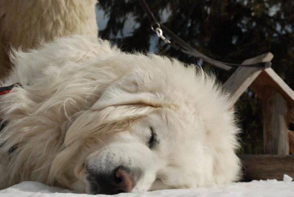 Польская подгалянская овчарка спит