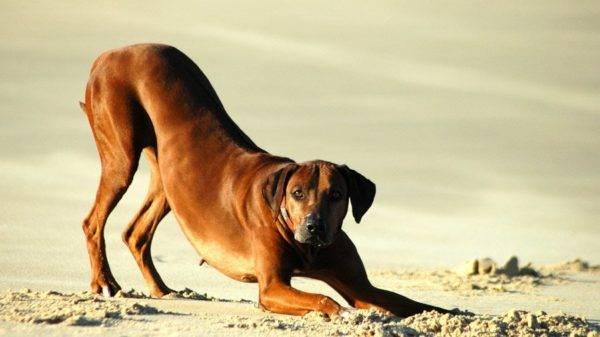 Родезийский риджбек на песке