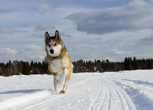 Восточно-сибирская лайка бежит