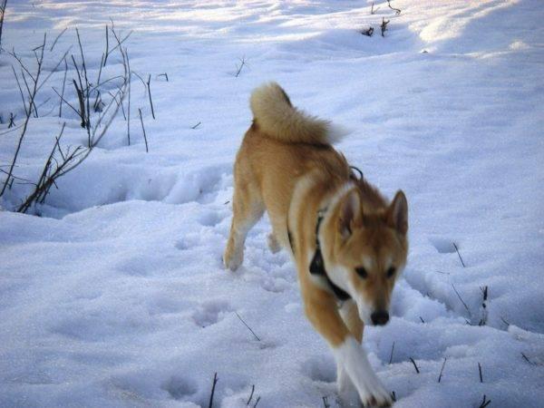 Восточно-сибирская лайка зимой
