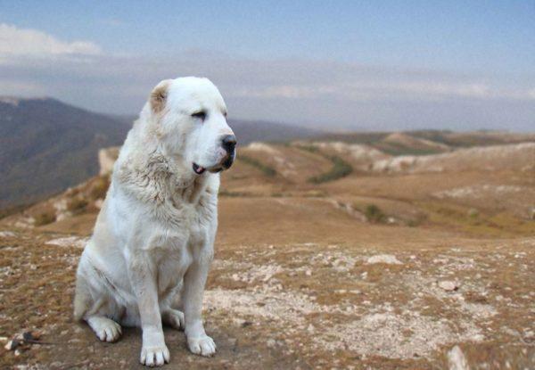 Алабай (среднеазиатская овчарка)