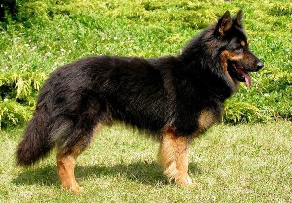 Чешская пастушья собака на прогулке