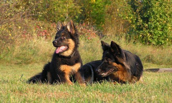 Чешская пастушья собака на улице