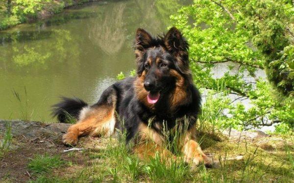 Чешская пастушья собака около озера