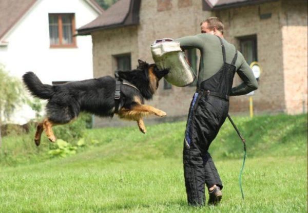 Чешская пастушья собака прыгает