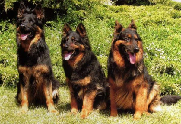 Чешские пастушьи собаки