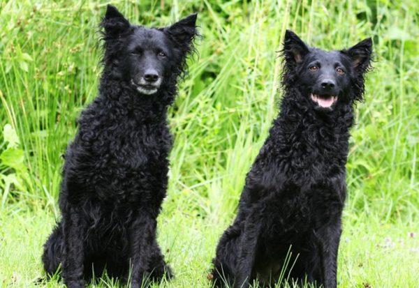 Хорватские овчарки