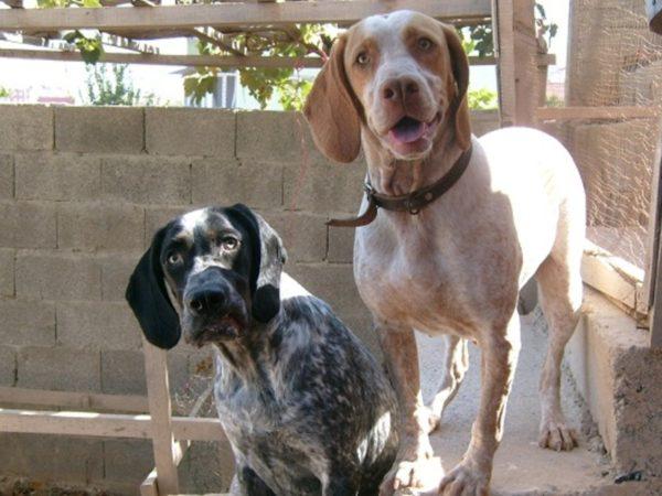 Каталбурун - необычная порода собак