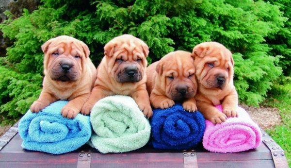 Мини шарпеи на полотенцах