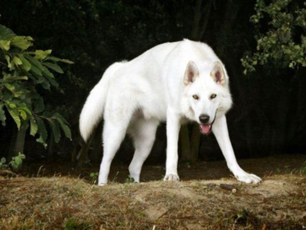 Северная инуитская собака белая