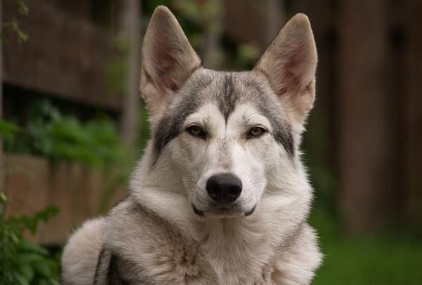 Северная инуитская собака читайте статью
