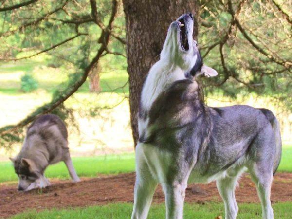 Северная инуитская собака волчьего окраса