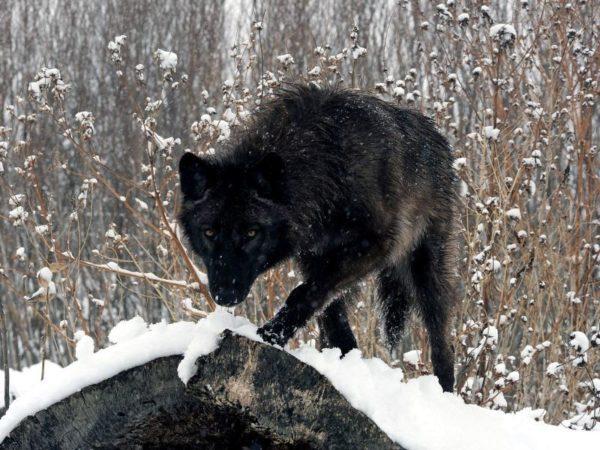 Северная инуитская собака зимой