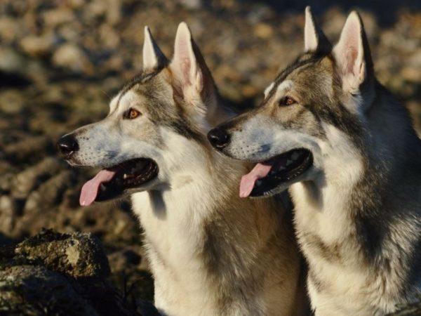 Северные инуитские собаки