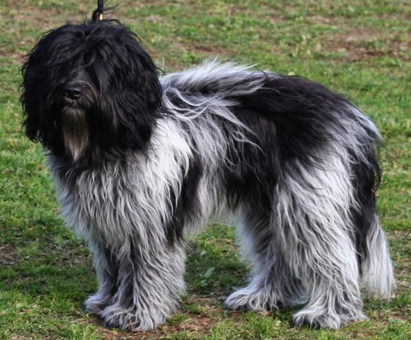 Шапендуа черно-белого цвета