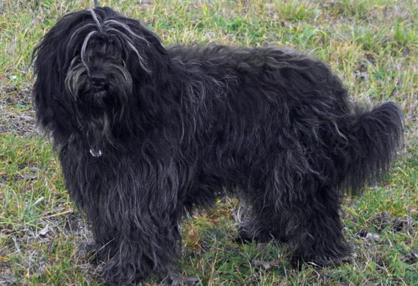 Шапендуа чёрного цвета