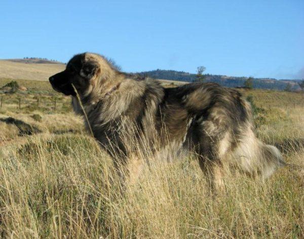 Шарпланинская овчарка на прогулке