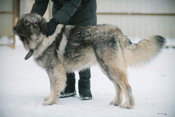 Шарпланинская овчарка описание породы