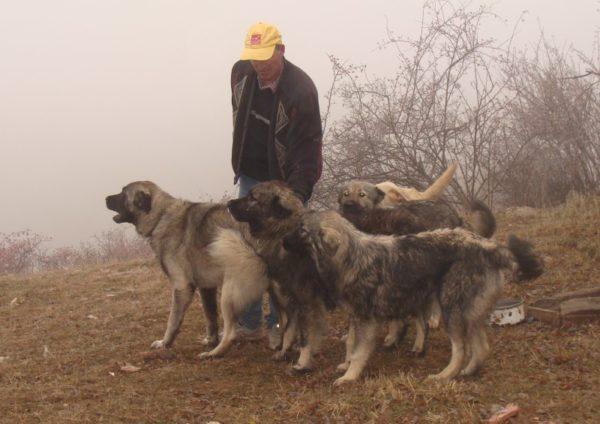 Шарпланинские овчарки