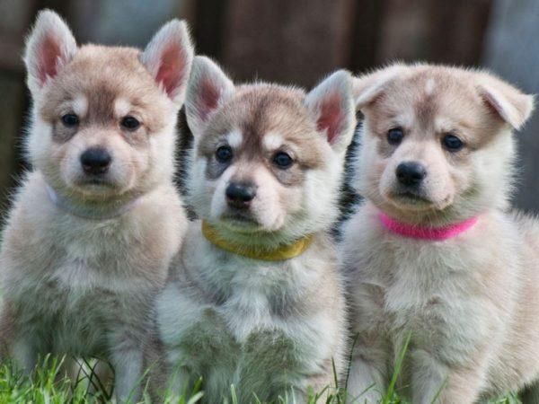 Щенки северной инуитской собаки