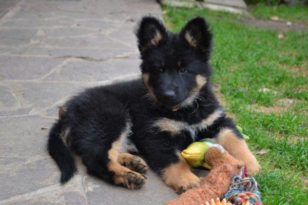 Щенок чешской пастушьей собаки