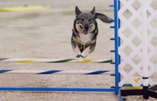 Шведский вальхунд прыгает
