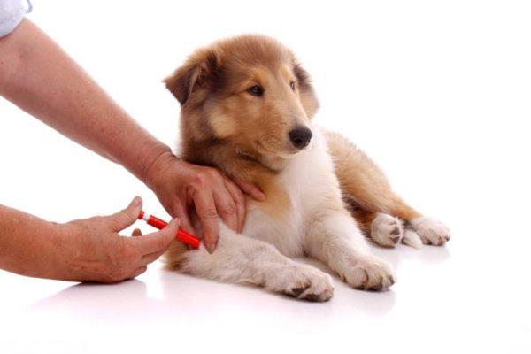 Диарея у щенка после вакцинации
