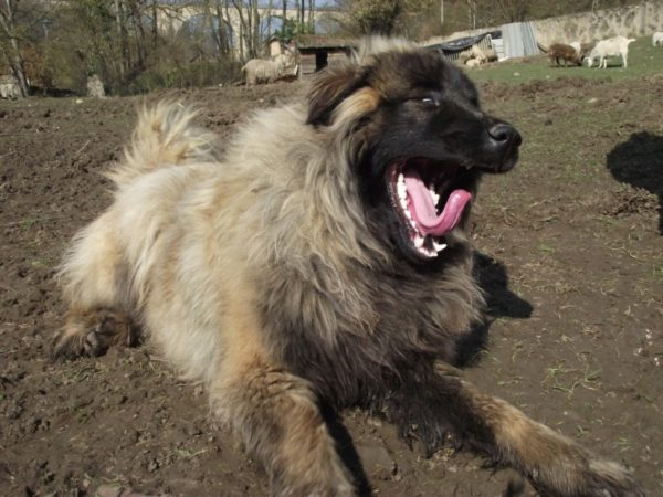 Эштрельская овчарка зевает