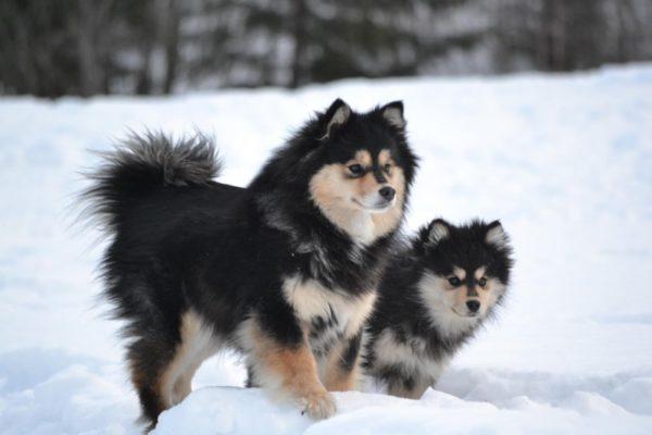 Финский лаппхунд зимой
