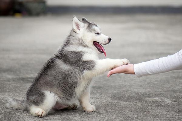 Как научить собаку команде дай лапу читайте статью