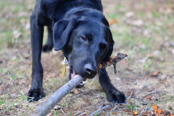 Как научить собаку приносить палку читайте статью