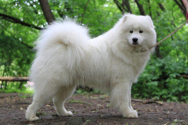 Самоедская собака (лайка или шпиц)