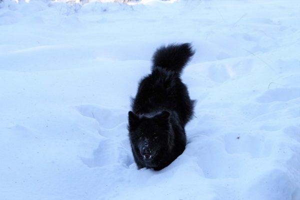 Шведский лаппхунд в снегу