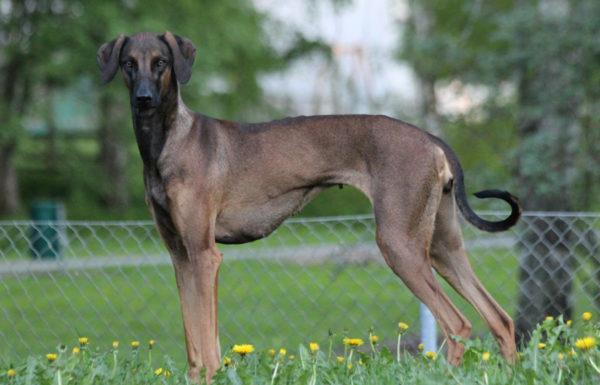 Слюги порода собак читайте статью