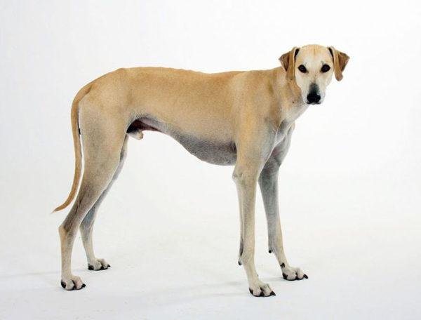 Слюги порода собак