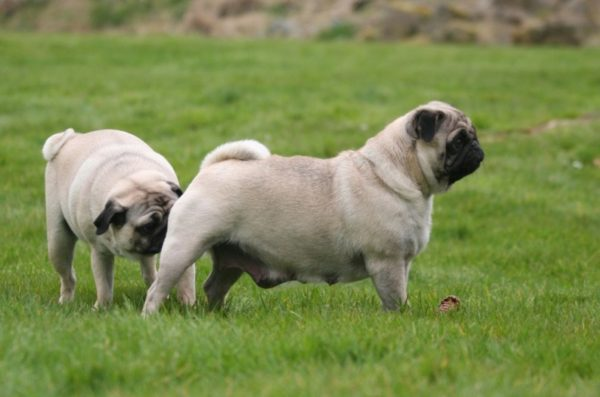 Собаки нюхают друг друга под хвостом