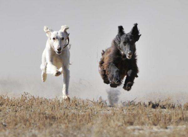 Тайган бежит